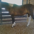 WB gelding before CS with posture imbalance